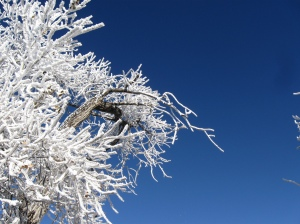 Frost on the cottonwood