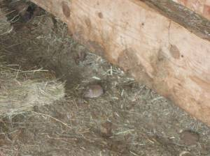 Mouse eating Jazzmin's hay.  Barn cat must have migrated to Florida.
